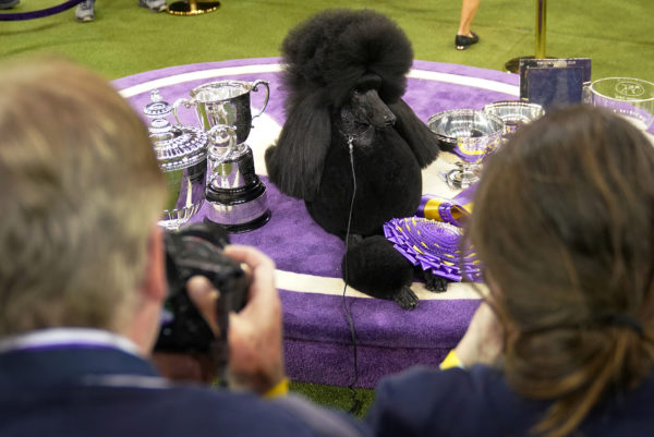 Siba the Standard Poodle, winner of Best in Show, poses with trophies and awards at the 2020 Westminster Kennel Club Dog Show at Madison Square Garden in New York City, New York. Photo by Carlo Allegri/Reuters